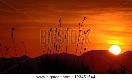Ocotillo cactus and setting sun in Saguaro National Park