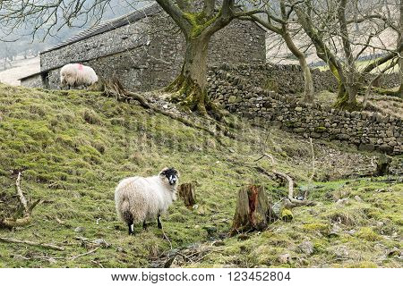 Sheep grazing beside a traditional stone barn on the Yorkshire Dales near Kettlewell on the Dales Way footpath in the Yorkshire Dales National Park, a popular location for tourists and walkers visiting the park.