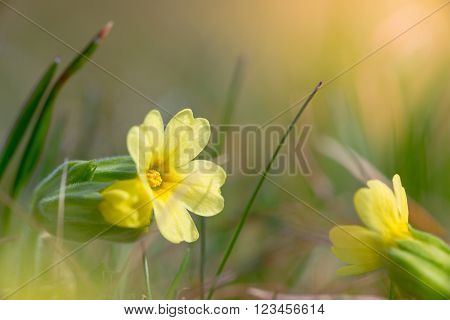 yellow blossom of common cowslip between grass at spring