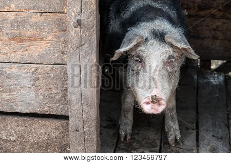 Picture of a pig in stable at the farm