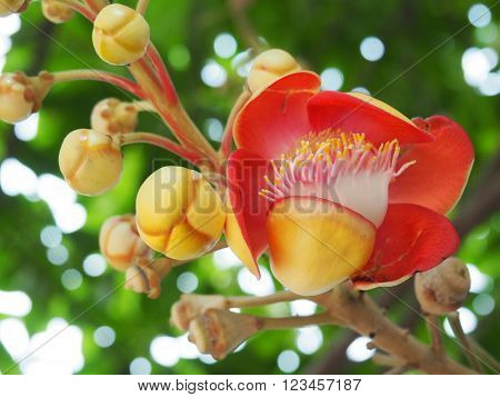 Close Up Of Colorful Cannonball Tree Flower