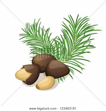 Pine nuts with leafs isolated on white. Vector illustration.