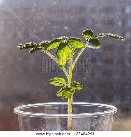 Young tomato seedling seedlings in a plastic disposable cup