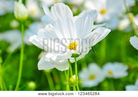 Beautiful White cosmos in the lively garden