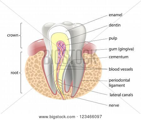 medical structure of the tooth, vector illustration