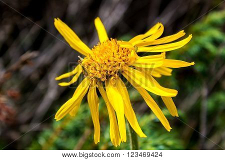 Close up of Arnica Montana flower in the dolomites