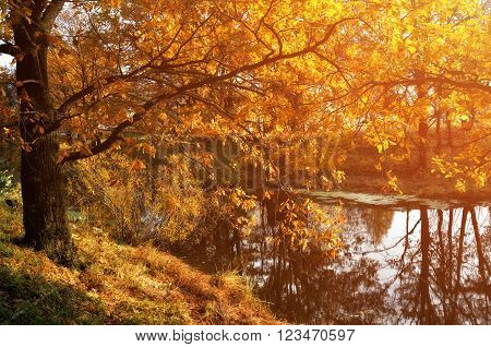 Autumn forest landscape with yellowed oak tree near the water lit by bright evening light. Soft filter processing