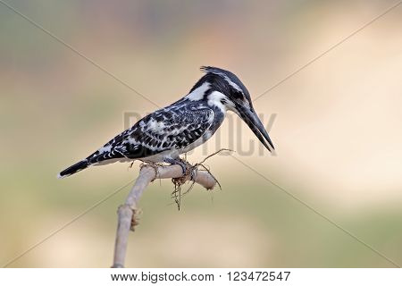 Pied kingfisher Ceryle rudis Male Birds of Thailand