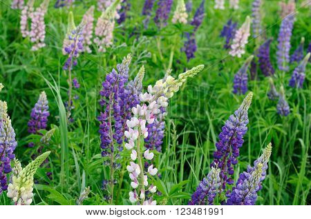 Multicolour lupin flowers blooming in their natural environment, Moscow region, Russia