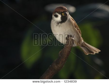 Sparrow Sitting On Dry Branch