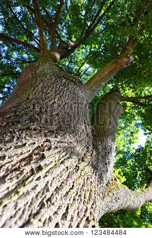 Looking up an oak tree crown with spring green foliage.