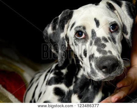 Sweet dalmatian dog look, with black background