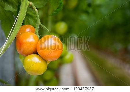 Closeup of ripening tomatoes hanging on a thick stalk in a large specialized tomato nursery. The tomato plants are grown in a Dutch greenhouse on substrate and with liquid food.
