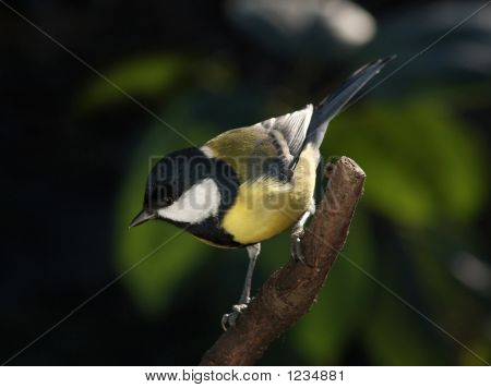 Tomtit On The Branch