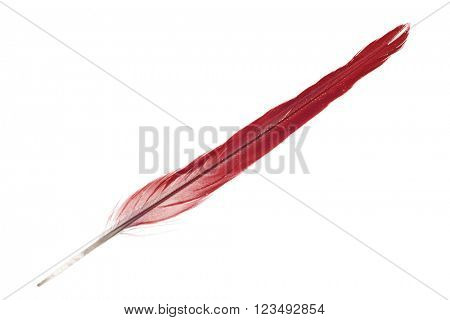red parrot feather isolated on white background