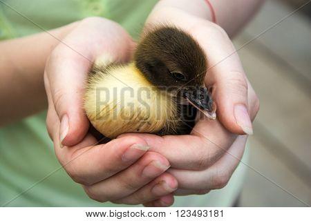duckling in children's hands