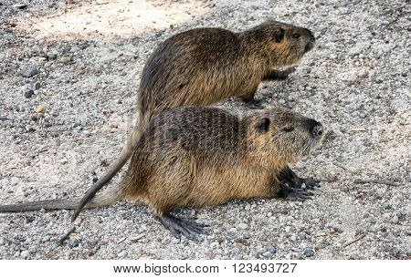 Colonia nutria farm. Nutria - a valuable agricultural industry for animal fur and meat growing