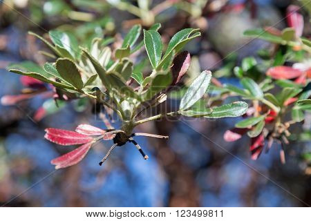 Coca Leaves On Trees In Andes Mountains In Peru, Columbia And  Bolivia