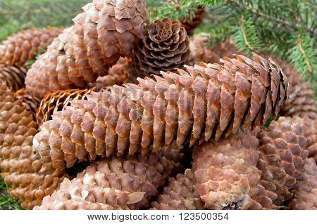 Mature spruce (Picea Abies) cone on the ground.