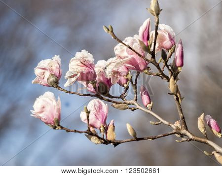 Magnolia soulangeanasaucer magnolia is a hybrid plant in the genus Magnolia and family Magnoliaceae with snow ** Note: Shallow depth of field