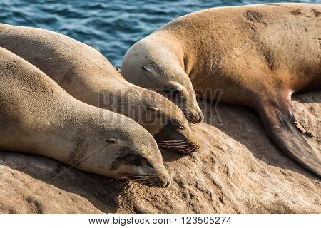 A group of three seals sleeping on a cliff at La Jolla Cove in La Jolla, California.
