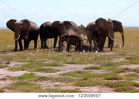 Herd of african elephants in the Amboseli park.
