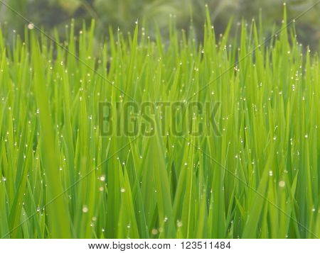 morning dew sparkle when the sun rises in the rice begins to shine