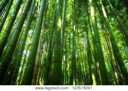 Bamboo grove, bamboo forest at Arashiyama, Kyoto, Japan