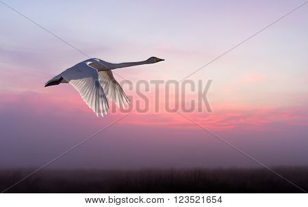 Beautiful crane in flight against sunset sky