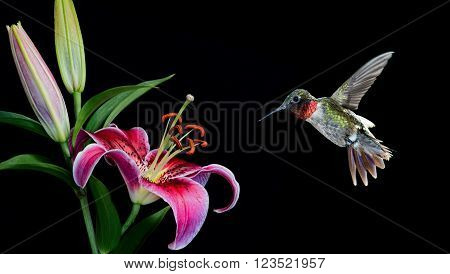 Hummingbird with tropical Lily flower over black background