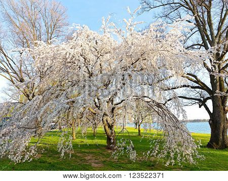 Cherry blossom in Washington DC. A beautiful Japanese cherry tree in full bloom near Potomac river in the spring.