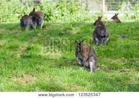 Five red-necked wallabies or Bennett's wallaby on green grass