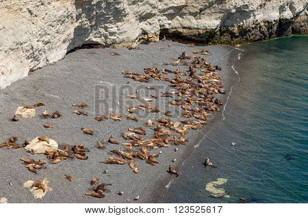 A colony of sea lions on a beach south of Puerto Madryn Argentina.
