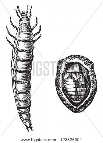 Golden beetle larva and Nymph golden rose chafer, vintage engraved illustration. Magasin Pittoresque 1870.