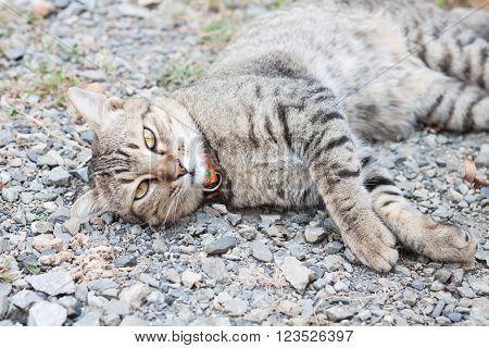 Thai cat laying down with relax post, stock photo