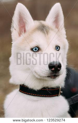 Curious Young Funny White Husky Puppy Dog With Blue Eyes. Close Up Portrait.