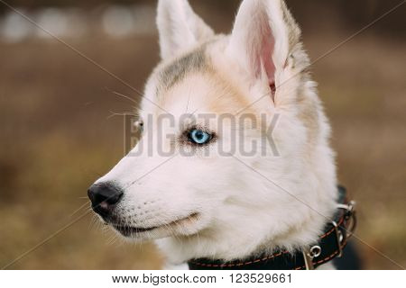 Young Funny White Husky Puppy Dog With Blue Eyes. Close Up Portrait.