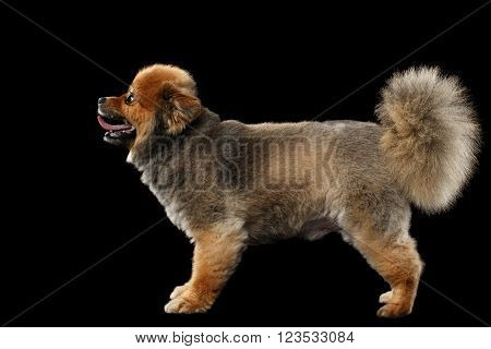 Groomed Red Pomeranian Spitz Puppy Standing isolated on Black Background in Profile view