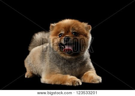 Cute Red Pomeranian Spitz Puppy Lies and Smiling isolated on Black Background