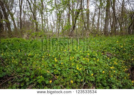Landscape with a forest of hornbeams in the spring ** Note: Shallow depth of field