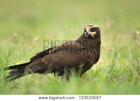 Female Marsh harrier (circus aeruginosus) in natural habitat