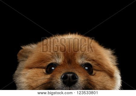 Close up Face of peek Cute Red Pomeranian Spitz Puppy isolated on Black Background