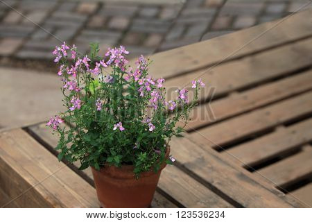 Wild Snapdragon Flower in planter over wooden pattern background