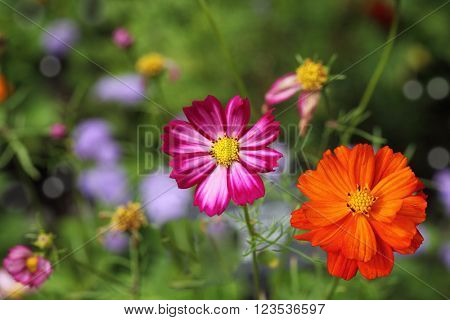 Pink and orange Cosmos bipinnatus Sonata flowers in the garden