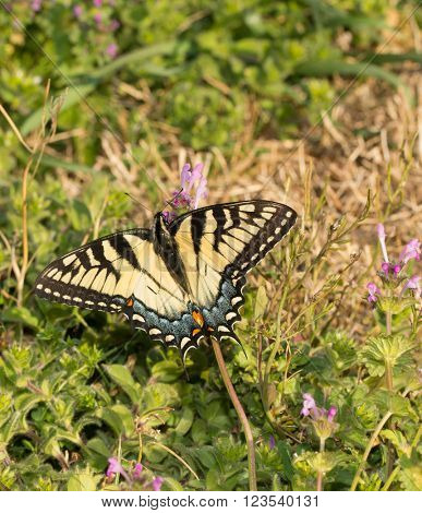 Eastern Tiger Swallowtail butterfly feeding on small pink flowers of Common Henbit in early spring