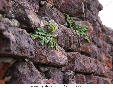 crumbling wall masonry, bricks with faults and fissures, and growing through the wall plants