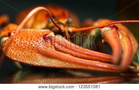 boiled crawfish on the mirror dark background close