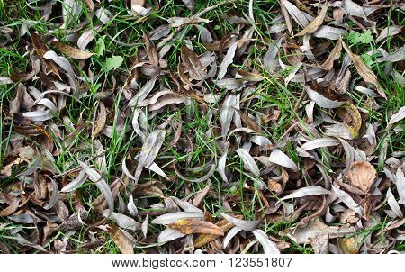Dry fallen willow leaves on the green grass