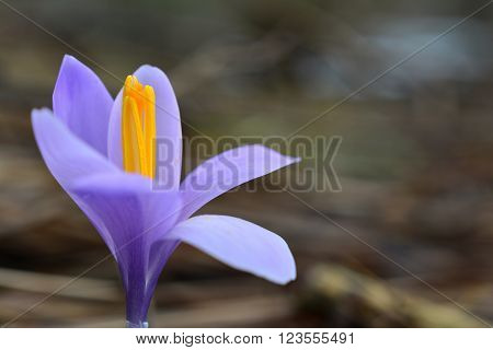 One single blooming violet crocus against gray blurred background