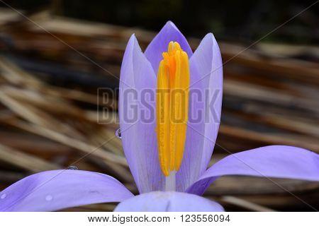 Violet spring Crocus flower close up shot horizontal orientation